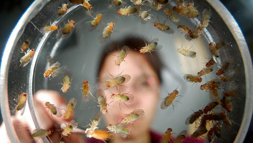 les-mouches-drosophile-fascinent-les-scientifiques-848x479